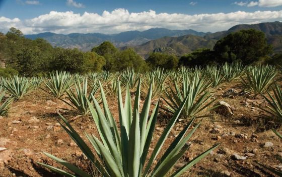 agave-tequila