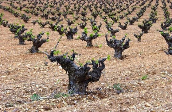 En la comarca abundan las cepas viejas y centenarias. / TURISMO DE CIGALES