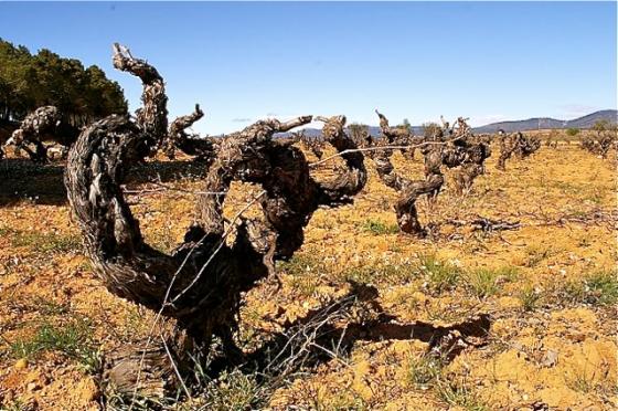 Utiel-Requena tiene un tesoro en sus viejas viñas de la variedad bobal. / A