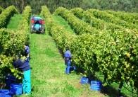 Trabajando en el viñedo.