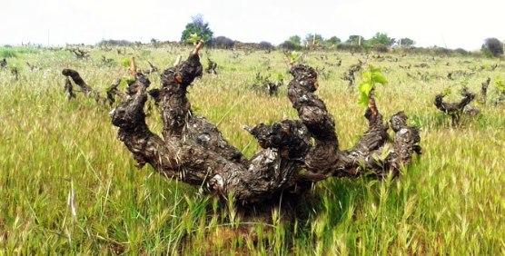 Cepa centenaria de garnacha en la Sierra de Gredos.