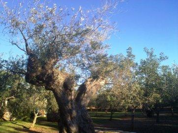 Los propietarios también se llevaron media docena de olivos centenarios.