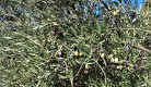 Aceitunas de picual en el árbol. / O